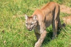 Puma Felis Concolor. Closeup of Puma Felis Concolor Stock Images