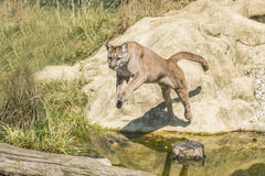 Puma (Felis Concolor). Jumping off a rock across water Royalty Free Stock Photo