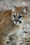 Puma (Felis Concolor) - pista/hombros Foto de archivo