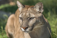 Puma (Felis Concolor). Portrait of Puma (Felis Concolor) - closeup Stock Image