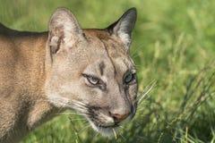 Puma (Felis Concolor). Portrait of Puma (Felis Concolor) staring intensly forward Royalty Free Stock Images