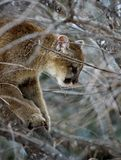 Puma (Felis Concolor) su un albero fotografie stock libere da diritti