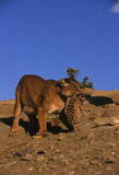 Puma femelle portant Cub Photo libre de droits