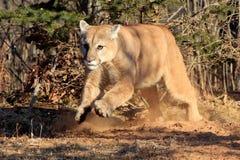 Puma fonctionnant vers des cerfs communs Photographie stock