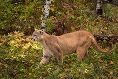 Puma för vuxen man & x28; Kuguarconcolor& x29; Flyttningar som lämnas till och med gräs Arkivfoto