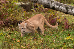 Puma för vuxen man & x28; Kuguarconcolor& x29; Ser högert i gräs Arkivfoto