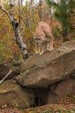 Puma för vuxen man & x28; Kuguarconcolor& x29; Ser ner från uppe på vaggar Royaltyfri Foto