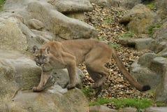 Puma, Halny lew lub kuguar, (puma Concolor) Obraz Stock