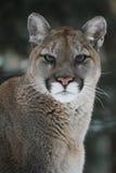 Puma Headshot Lizenzfreies Stockbild