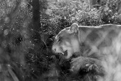 Puma i handling arkivfoton
