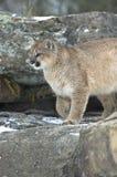 Puma in inverno fotografia stock