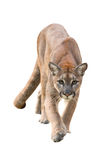 Puma isolated Stock Images