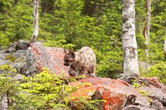 Puma kitten Stock Images