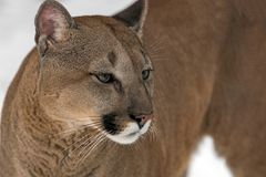 Puma, leão de montanha imagem de stock