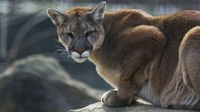 Puma on a ledge. A puma crouches on a ledge as it hunts Stock Photos
