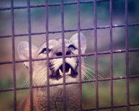 Puma looking with intensity. Caged puma looking at something with intensity Royalty Free Stock Images