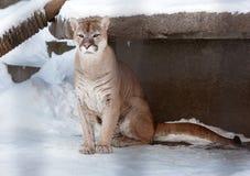 Puma lub halny lew, Zdjęcia Stock