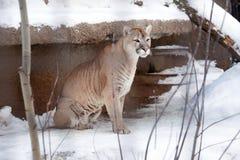 Puma lub halny lew, Obrazy Royalty Free