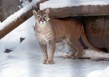 Puma lub halny lew, Zdjęcie Stock