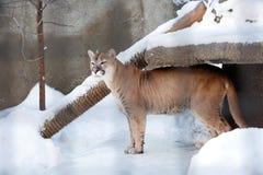 Puma lub halny lew, Obraz Royalty Free