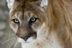 Puma lub Halny lew, pumy concolor zdjęcia royalty free