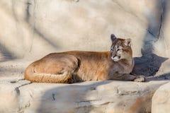 Puma lying. In the aviary Stock Photography