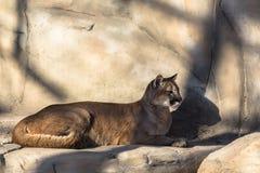 Puma lying. In the aviary Stock Photo