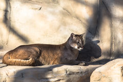 Puma lying. In the aviary Royalty Free Stock Photo