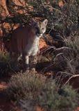 Puma marchant par des buissons de désert et des roches du sud de rouge du ` s de l'Utah Photos stock