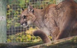 Puma med för kattkuguar för skarp sikt som den stora lösa concoloren är klar att anfalla royaltyfri bild