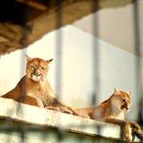 Puma mis en cage par deux Image libre de droits