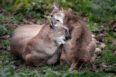 Puma mother cub. Puma mother loving hugging kissing her cub Stock Image