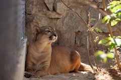 Puma or mountain Lion Royalty Free Stock Image