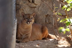 Puma or mountain Lion Royalty Free Stock Photos