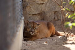 Puma or mountain Lion Stock Images