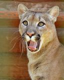 Puma mountain lion, cougar Latin Puma concolor is a predator of the Puma family of the cat family. It lives in North and South America. It hunts mainly on deer stock photos