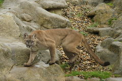 Puma, Mountain Lion or Cougar (Puma Concolor) stock image
