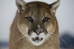 Puma or Mountain lion, Puma concolor Royalty Free Stock Images