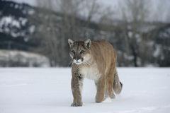 Puma or Mountain lion, Puma concolor Stock Photo
