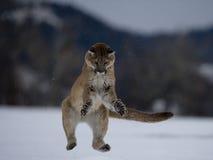 Puma or Mountain lion, Puma concolor Royalty Free Stock Image