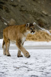 Puma or Mountain lion, Puma concolor Royalty Free Stock Photography