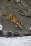 Puma or Mountain lion, Puma concolor Stock Image