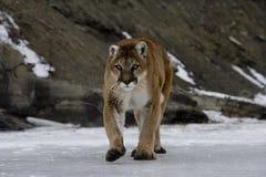 Puma or Mountain lion, Puma concolor Stock Image