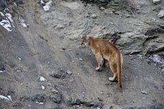 Puma or Mountain lion, Puma concolor Royalty Free Stock Photo