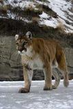 Puma or Mountain lion, Puma concolor Stock Photos