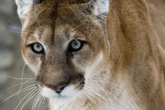 Puma or Mountain lion, Puma concolor Royalty Free Stock Photos