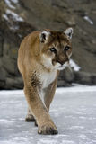 Puma or Mountain lion, Puma concolor Royalty Free Stock Image