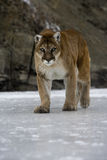 Puma or Mountain lion, Puma concolor Stock Photos