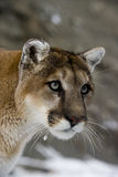 Puma or Mountain lion, Puma concolor Stock Photography