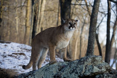 Puma or Mountain lion, Puma concolor Stock Images